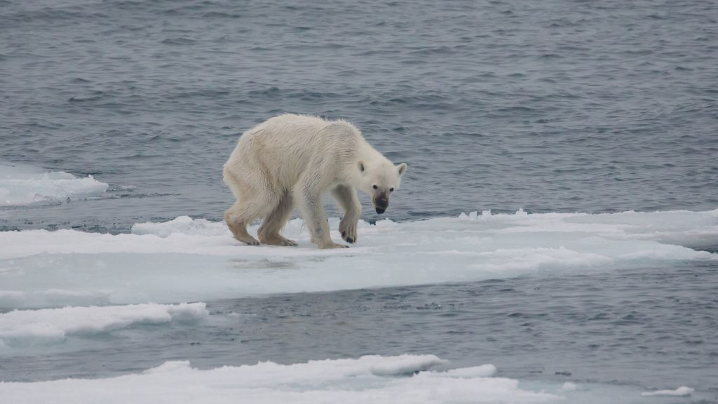 Image of a starving polar bear on a melting ice sheet