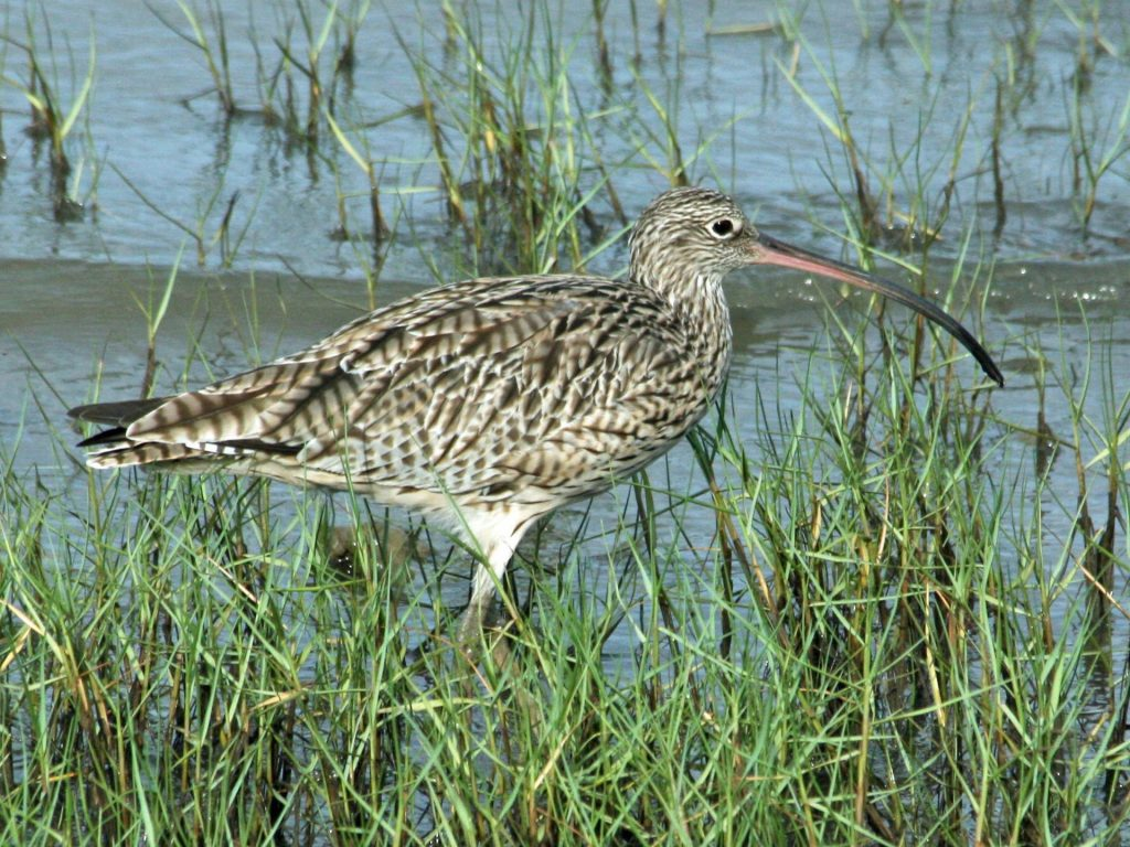 An eastern curlew at a wetland