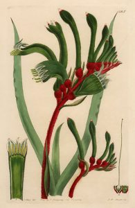 An illustration of the Kangaroo Paw Flower